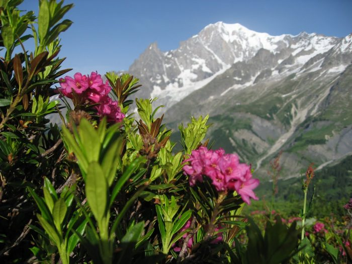 The beautiful alpine flora of the Val Ferret Gran Trail Courmayeur